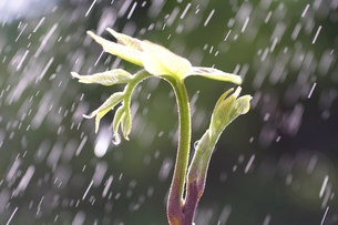 新芽に降る雨の写真素材 [FYI01446569]