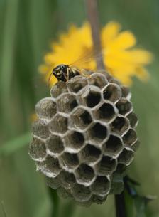 蜂の巣と蜂の写真素材 [FYI01446613]