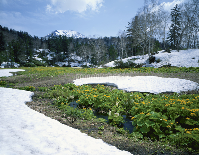 残雪のエゾツリュウキンカの写真素材 [FYI01446900]