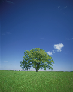 ハルニレの大樹の写真素材 [FYI01447155]