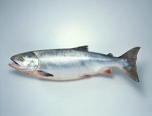 鮭 メスの写真素材 [FYI01447167]