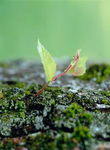 ハルニレの芽ばえの写真素材 [FYI01447179]