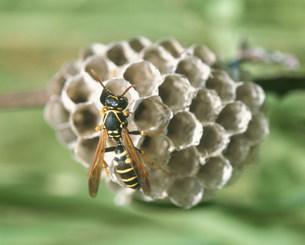 蜂の巣の写真素材 [FYI01447220]
