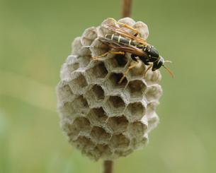 蜂の巣の写真素材 [FYI01447364]