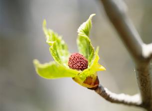 ハンカチの木の新芽の写真素材 [FYI01448186]