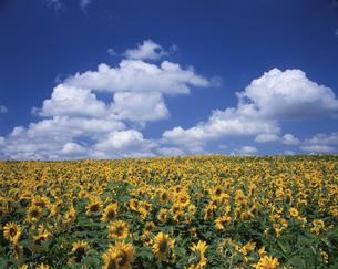 ヒマワリと雲の写真素材 [FYI01448345]