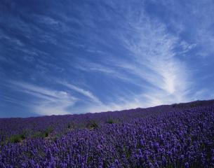ラベンダー園と雲の写真素材 [FYI01448450]