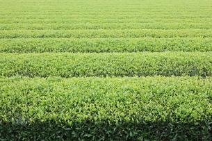 開成町の茶畑の写真素材 [FYI01448506]