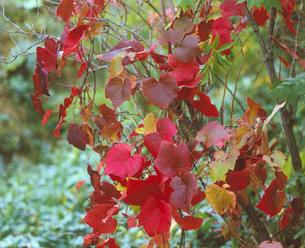 野ぶどうの紅葉の写真素材 [FYI01448844]
