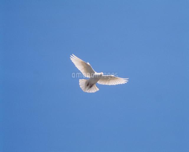 白いハトの写真素材 [FYI01449250]