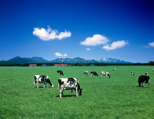 牧場と牛と雲の写真素材 [FYI01449338]