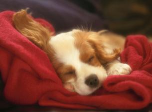 眠る犬の写真素材 [FYI01449373]
