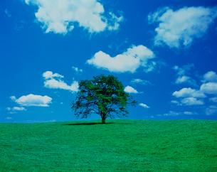 ハルニレの木と雲の写真素材 [FYI01449408]