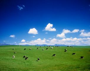 牛の丘と知床連山の写真素材 [FYI01449490]