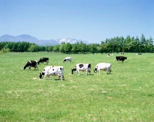 牛と山の写真素材 [FYI01449643]
