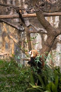 レッサーパンダの写真素材 [FYI01449962]