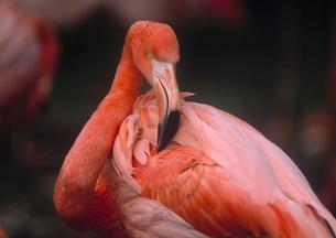 フラミンゴの写真素材 [FYI01449992]