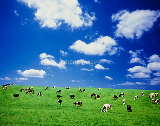 丘の牛と雲の写真素材 [FYI01450307]