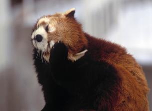 レッサーパンダの写真素材 [FYI01450387]