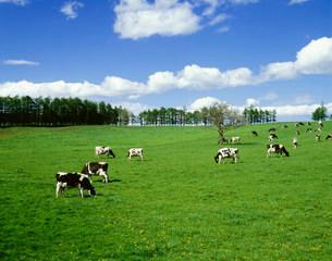 草原と牛の写真素材 [FYI01450527]