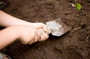 家庭菜園でスコップを使い収穫する子供の手の写真素材 [FYI01450568]