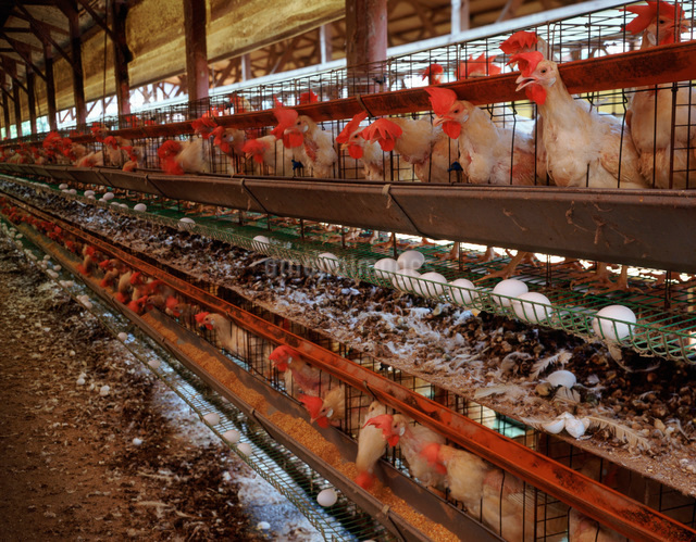養鶏場の写真素材 [FYI01450753]