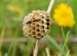 ハチと巣の写真素材 [FYI01450833]