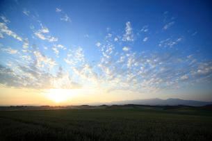 朝日昇る朝焼けの麦畑の写真素材 [FYI01451452]