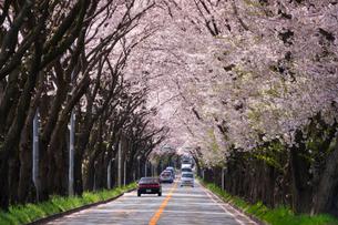 桜並木と道の写真素材 [FYI01453257]