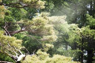 スギの花粉の写真素材 [FYI01453325]