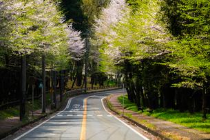 桜並木と道の写真素材 [FYI01453473]