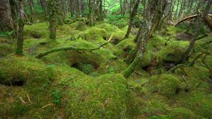 白駒の池の雨の日の苔の森の写真素材 [FYI01453515]