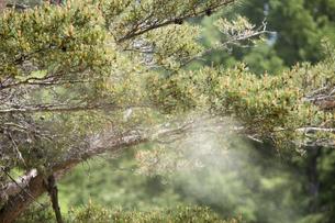 スギの花粉の写真素材 [FYI01453737]