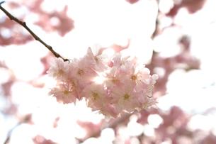 桜の写真素材 [FYI01455586]