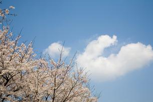 桜と青空の雲の写真素材 [FYI01455621]