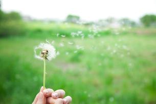 風に舞うたんぽぽの綿毛の写真素材 [FYI01456443]