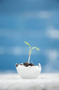 卵の殻の植木鉢から出た双葉の写真素材 [FYI01456749]