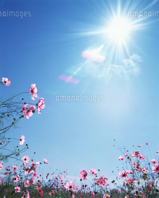 コスモスと青空と太陽の写真素材 [FYI01458311]