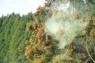 スギ花粉の写真素材 [FYI01458513]