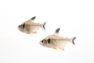 水槽で泳ぐ2匹のテトラの写真素材 [FYI01459024]