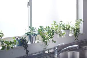 キッチンの明るい窓際に置いているグリーンの写真素材 [FYI01459213]