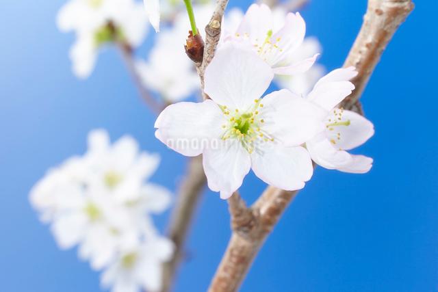 青背景に桜の写真素材 [FYI01459379]