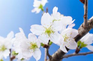 青背景に桜の写真素材 [FYI01459736]