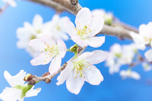 青背景に桜の写真素材 [FYI01459758]