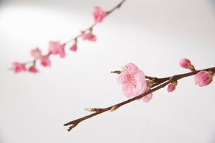 2本の小枝に咲くももの花の写真素材 [FYI01459769]