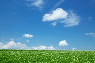 ジャガイモの花咲く丘と青空の写真素材 [FYI01460163]