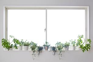 キッチンの明るい窓いっぱいの窓際に置いているグリーンの写真素材 [FYI01460176]