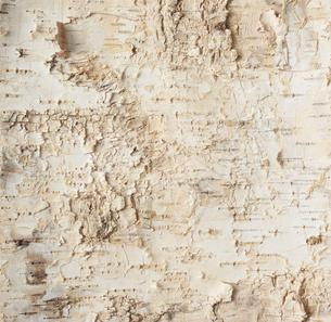 白樺の皮素材の写真素材 [FYI01460269]