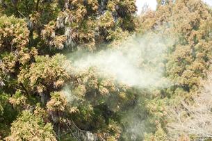 山のスギ花粉の写真素材 [FYI01460605]