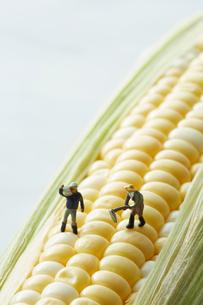 トウモロコシの上で働く生産者たちの写真素材 [FYI01461410]